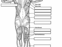 10 best images about names of muscles on pinterest human anatomy muscle and the muscle. Black Bedroom Furniture Sets. Home Design Ideas