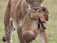 1000 shoes white lion cubs for sale