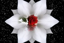 Flori  de TRANDAFIRI