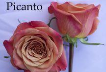 Bridal Roses Orange - Coral / Rose Varieties