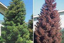 Taxodiaceae / Needle trees
