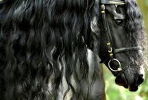 Friesians / The most beautiful horses in the world.   / by Jenny Mernickle