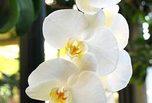 { white orchids } / The graceful beauty of a white orchid <3