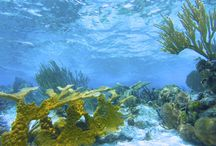 Belize Coral Gardens - Blue Marlin Beach Resort / Explore spur and groove formations and diverse patch reefs.