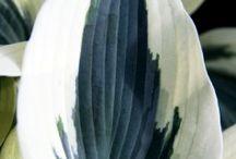 Hageplanter