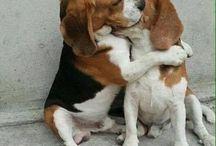 #BeagleLife:D / Beagle❤