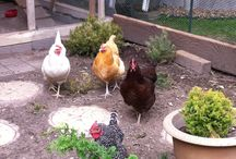 Mixed Flocks! / Various breeds of chickens all in the same yard!