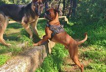 Nacho the Boxer Dog