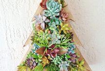 Christmas succulents