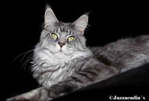Jazzacadia´s Maine Coons / Maine Coon Cattery