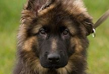 Longhaired German Shepherd