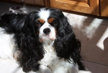 Beautiful My Beautiful! (four footed ones) / Foxglove Farms Miss Marple, one of the most beautiful  Cavalier King Charles Spaniels on the planet : )~!