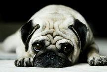 Just pugs...