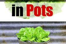 grow lettuce in pots