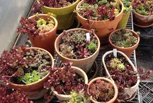 The Nursery at Zephyros / Seasonal Organic annual vegetable and flower starts specializing in Heirloom cultivars as well as perennial herb and flowers .