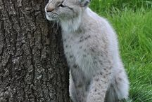 Rys/Lynx