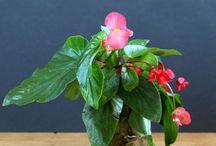 Szoba növények szaporítása