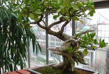 avakadu tree