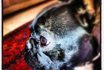 Kobi the Frenchie / my obsession with my french bulldog (my absolute best)