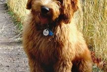 Goldendoodle hair