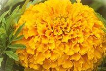 Flower Seeds / BUY FLOWER SEEDS ONLINE, FLOWER SEEDS ONLINE, GARDEN SEEDS, HERB SEEDS, VEGETABLE SEEDS ONLINE INDIA, ORDER SEEDS ONLINE, SEEDS COMPANY IN INDIA.