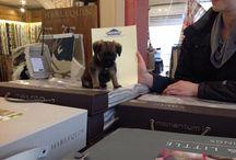 Tilly the Brookside Border Terrier