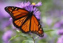 Butterflies & Moths (Mid-Atlantic)