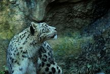Big cats / That majestic beauty and strength. I love it.
