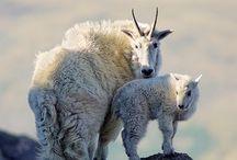 Goats & Sheep Around the World