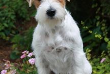 Never without a Jack Russell Terrier