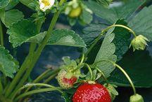 Verger du Père de la Fraise / Le Verger du Père de la Fraise, face à la montagne, est un site enchanteur pour l'autocueillette de fraises et framboises et est très sécuritaire pour les enfants. Goûtez les différentes variétés disponibles et choisissez votre préférée!
