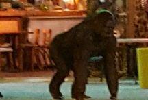 un gorille dans la rue