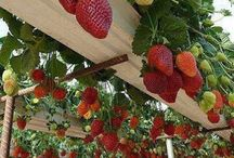 Sadece Çilek - Just Strawberries