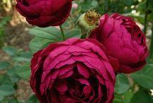 сад и розы