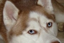 Huskies and their friends / Sharing pictures of the beautiful Huskies we encounter on Pinterest