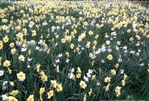Planting En Masse / Swathes of flowers!  Carpets of flowers, a sea of blooms.......