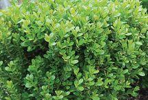Boxwood Varieties