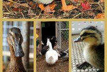 Homesteading - Animals
