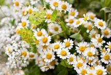 Filler Flowers / by Dawn Roberti