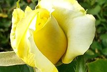 Yellow Flowers / The happy colour