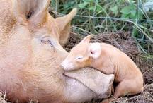 This little piggy.....* / Pig folk..... / by Kim Callahan