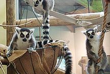 Lemur Enrichment ideas