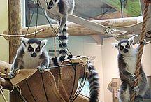 Lemur Enrichment ideas