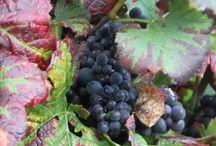 Grapes & Seasons / Weintrauben während des Jahres