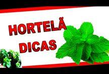 plantar hortelã pimenta