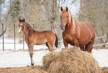 Alimentación de caballos / La alimentación de los caballos es fundamental. Conoce aquí todos los secretos para su buen crecimiento.