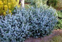 Picea sitchensis -świerk sitkajski