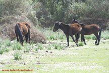 I cavallini della Giara / Il Cavallino della Giara, tra i pochi cavalli selvatici d'Europa. Tra tutti gli animali che vivono sulla Giara il Cavallino della Giara, è senza dubbio il più famoso. Non avendo tracce fossili, o almeno non sufficienti a provare il contrario, si presuppone che l'animale sia presente in Sardegna dal periodo nuragico o nel periodo punico.  Maggiori informazioni: www.inlandsardinia.it