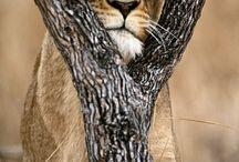 Lions ♥