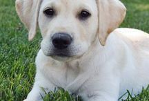 labrador retrievers / by Jean Campbell Collen